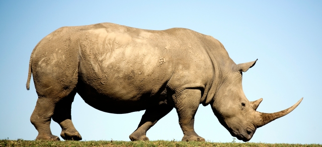 Profile of white Rhino ceratotherium simum on flat plain